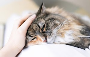 Congestive Heart Failure in Cats When to Euthanize