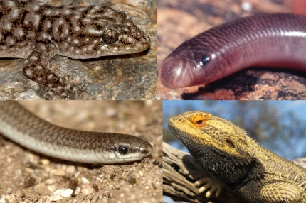 Image result for australia reptiles