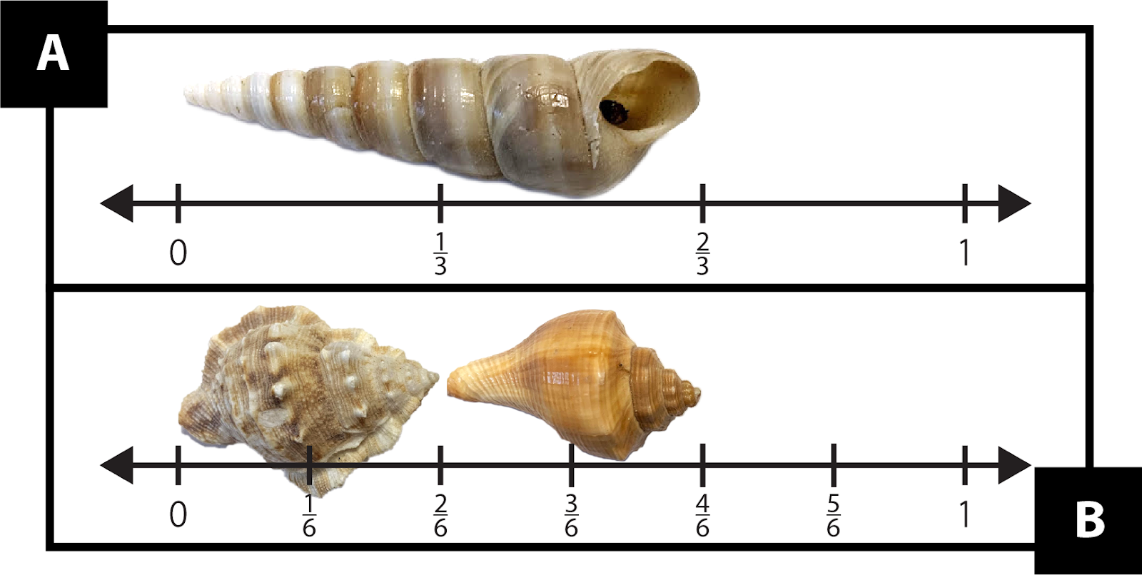 A: A shell is measured on a number line marked in thirds from 0 to 1. The shell measures 2-thirds of a unit long. B: Two shells measured on a number line marked in sixths. The first measures from 0 to 2-sixths of a unit long. The second measures from 2-sixths to 4-sixths of a unit long.