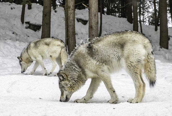 Волки на природе