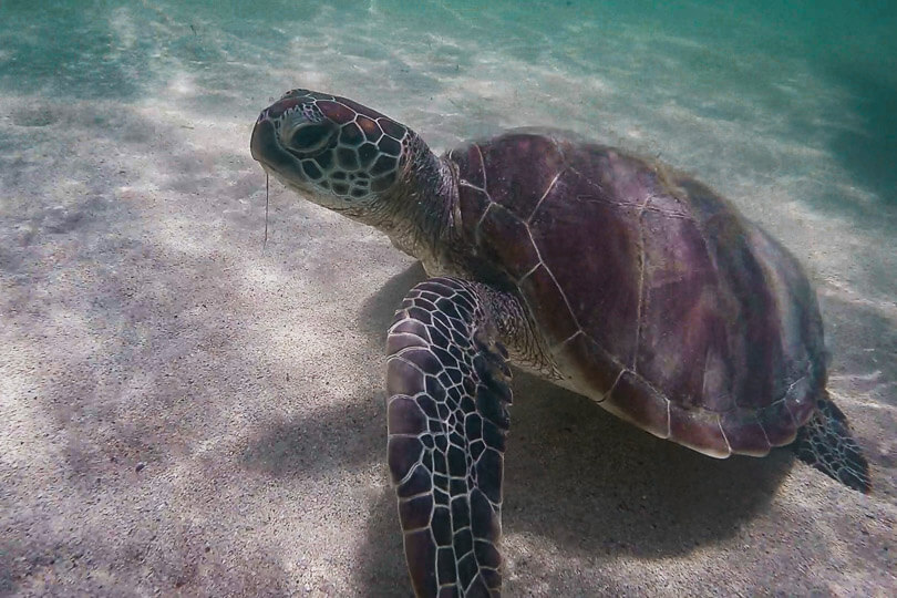 Turtle found on the New Caledonian Island of Ilot Maitre.