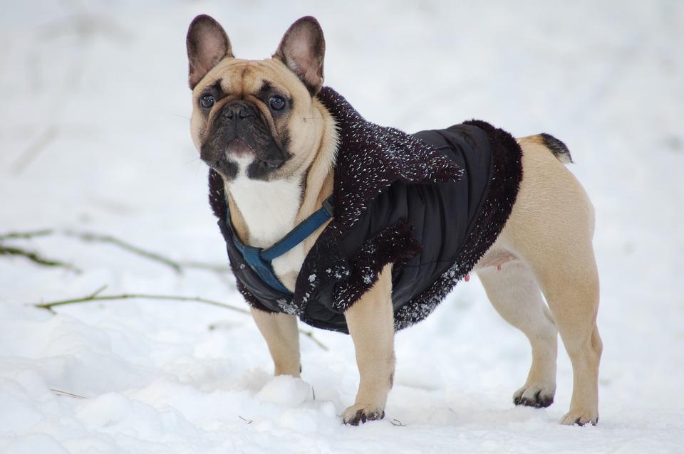 bulldog-1636346_960_720.jpg