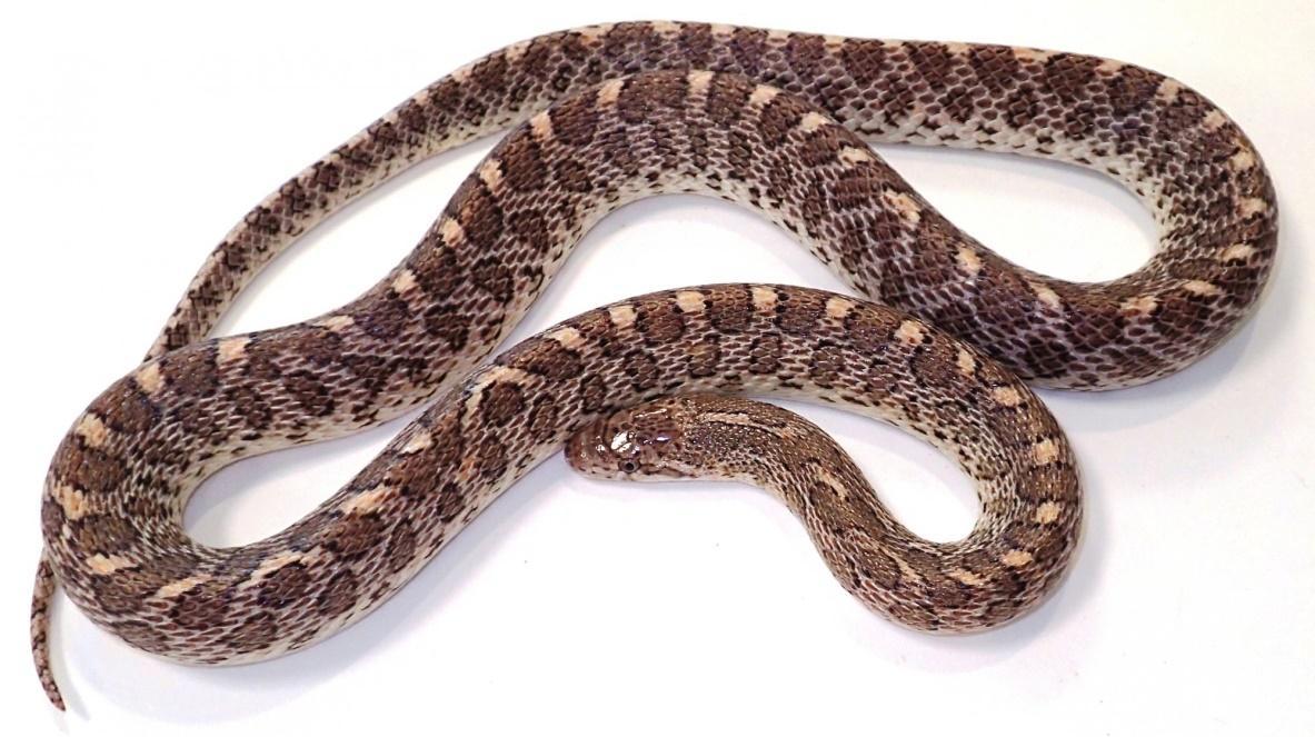 Image result for glossy snake