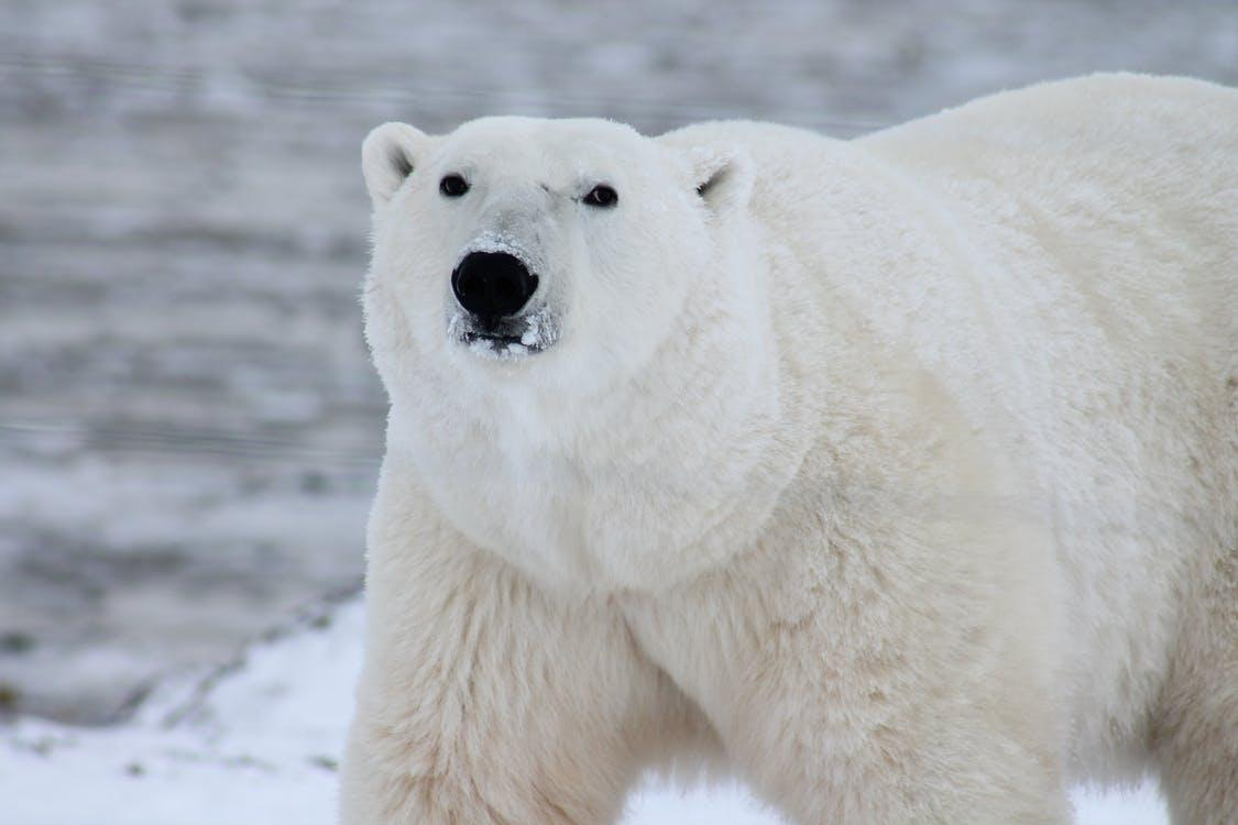 Close Photography of White Polar Bear
