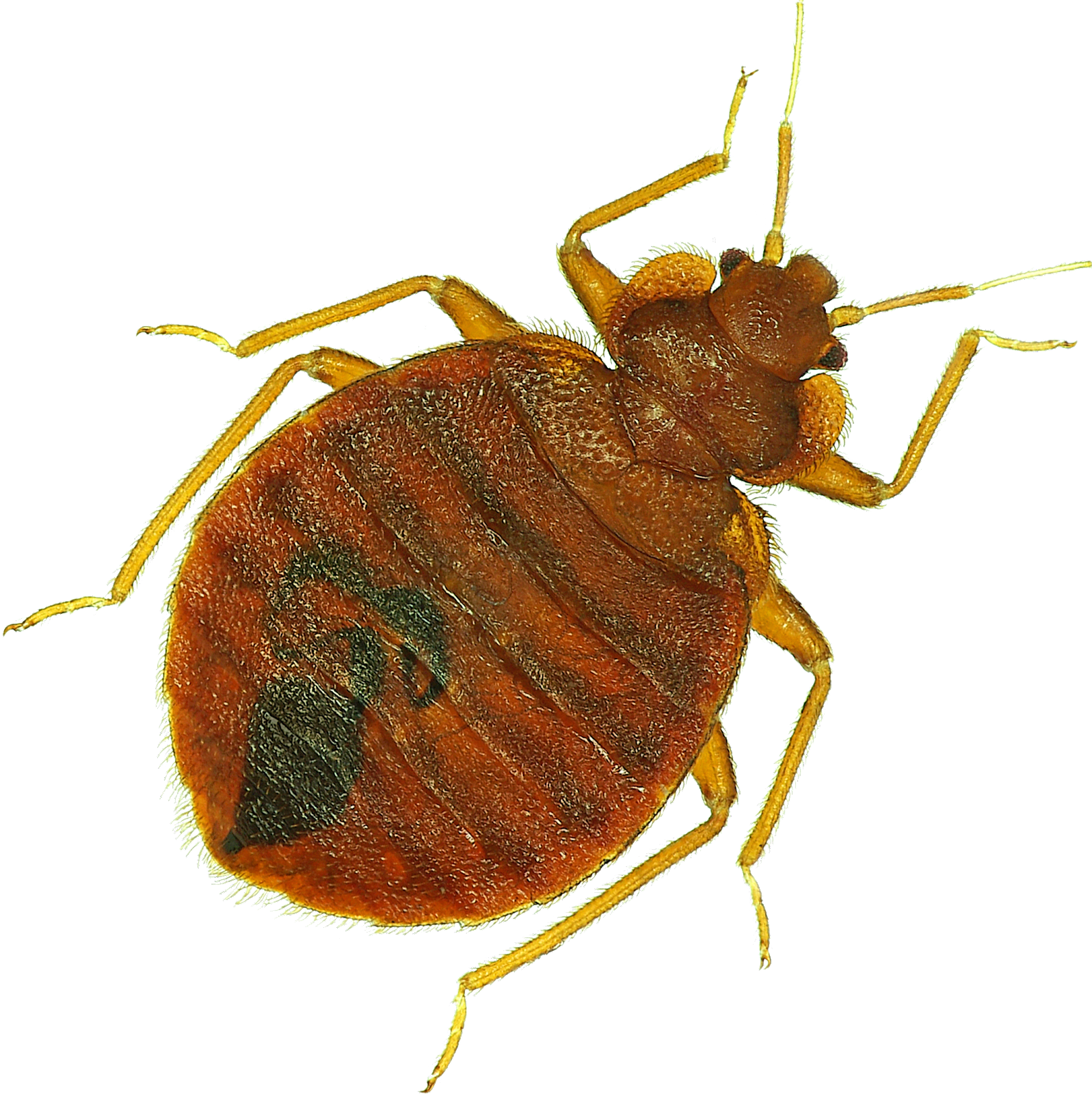 Adult bed bug up close