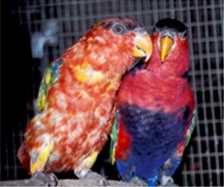 Black-capped lory (Lorius lory) suffering from abnormal and discolored plumage due to Psittacine Beak and Feather Disease (PBFD).