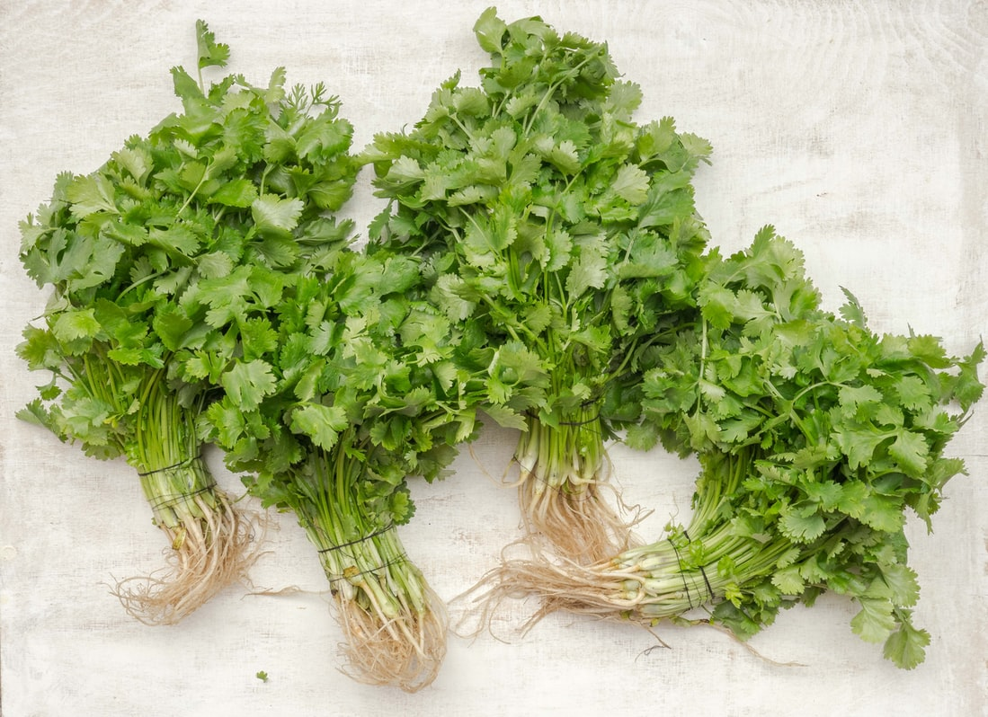 Herbs for Dogs Cilantro