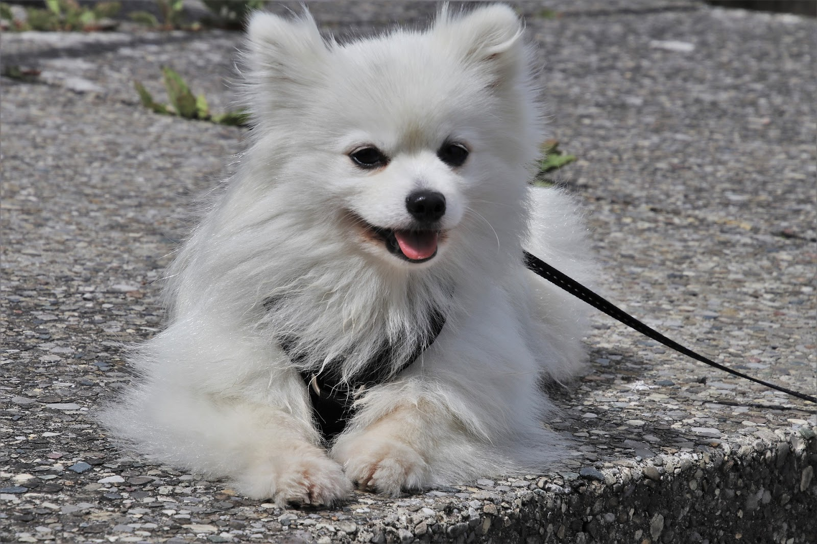 cute white dog laying down with a leash on