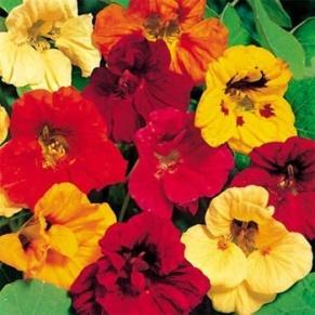 http://www.outsidepride.com/images/products/detail/gardenflower/nasturtiumjewel.jpg