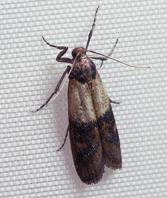 File:Indianmeal moth 2009.jpg