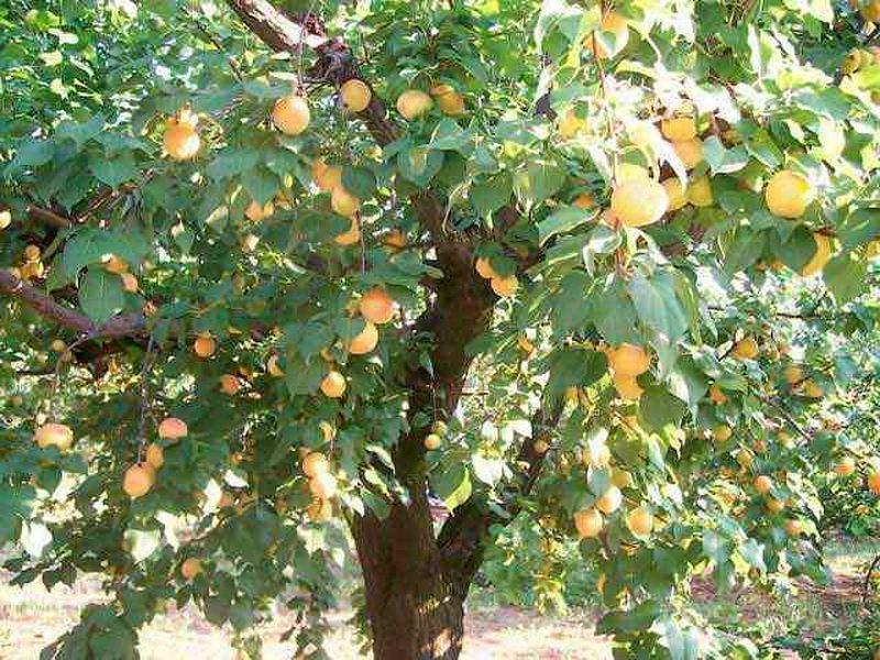 Сбор урожая абрикосов