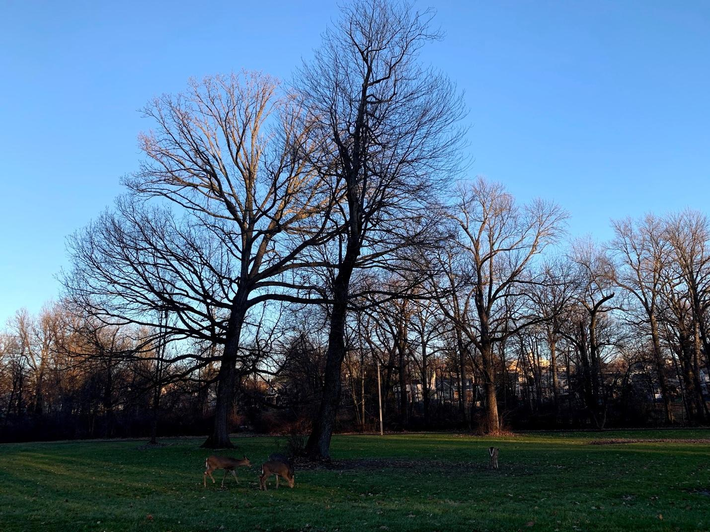 Four deer in a grassy area with winter trees. The sky is bright blue.