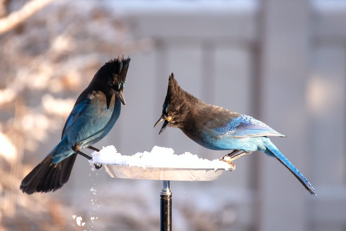 How To Attract Blue Jays To Your Feeders - Pittsburgh ...