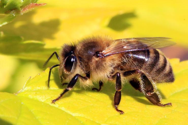 """Képtalálat a következőre: """"házi méh fotó"""""""