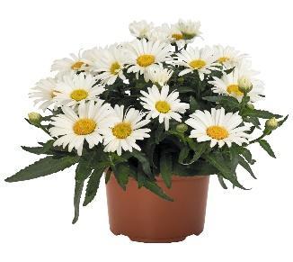 Leucanthemum Sweet Daisy™ Christine - Products - Dümmen Orange