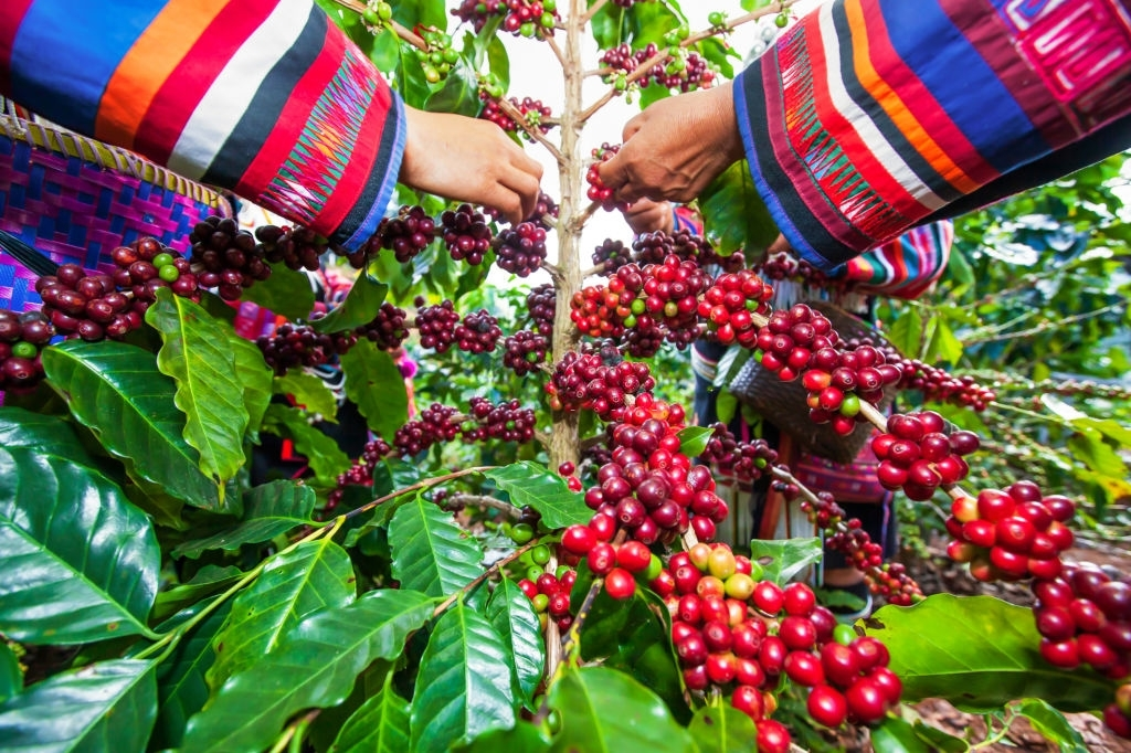 Robusta coffee growing areas in Vietnam