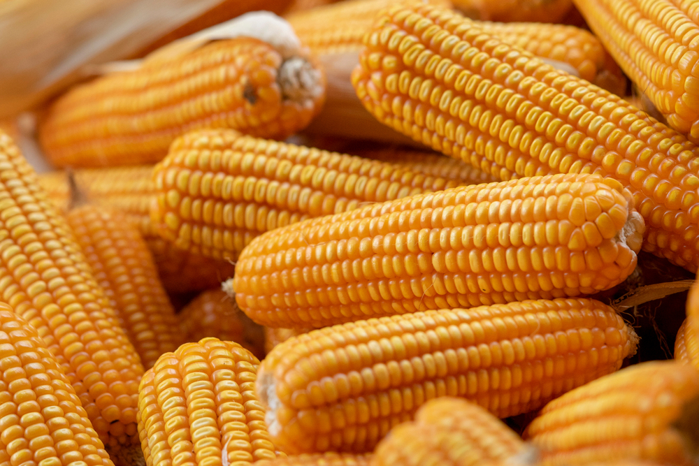 Brasil precisará importar 1 milhão de toneladas de milho para atender à demanda do primeiro semestre. (Fonte: Shutterstock/Maggie Vong/Reprodução)