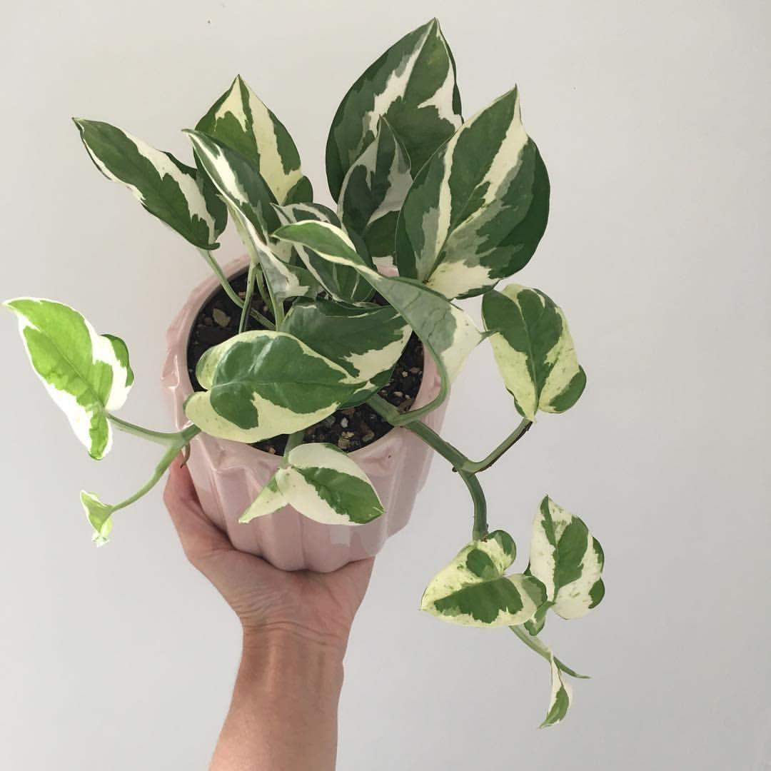 The very pretty Epipremnum aureum 'Snow Queen' or 'NJoy' or 'Frosty' or  'Pearls and Jade' or whatever your name is.. 😜💚💗 | Plants, Hanging  plants, Pothos plant