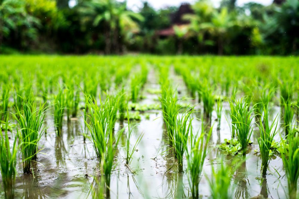 O cultivo do arroz depende bastante da presença de água na plantação. (Fonte: Shutterstock/Natalia Rezanova/Reprodução)