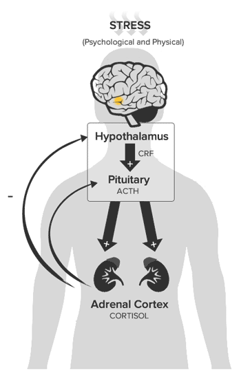 Neurobiology of Trauma | Sexual Assault Prevention and