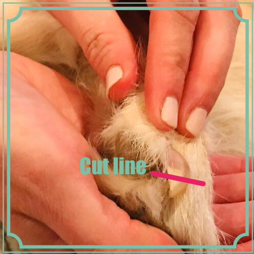Photo illustrating cut line for dog nail trims from the side