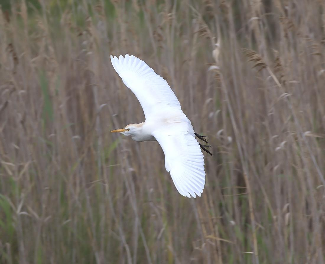 cattle egret_rsz.jpg