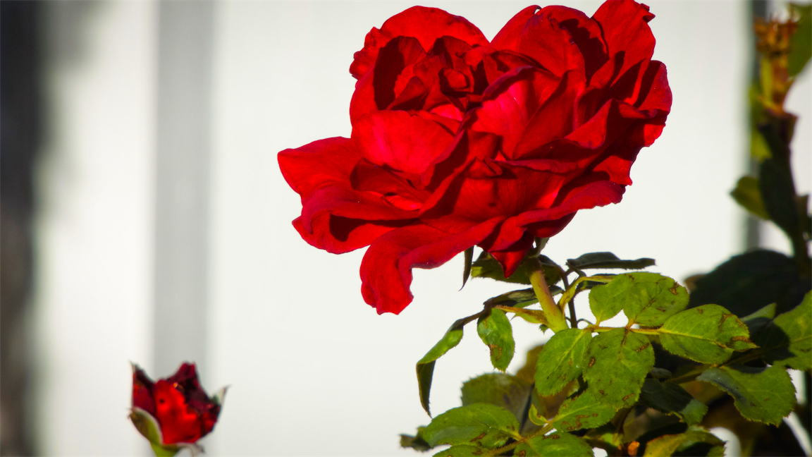 Red red rose.png