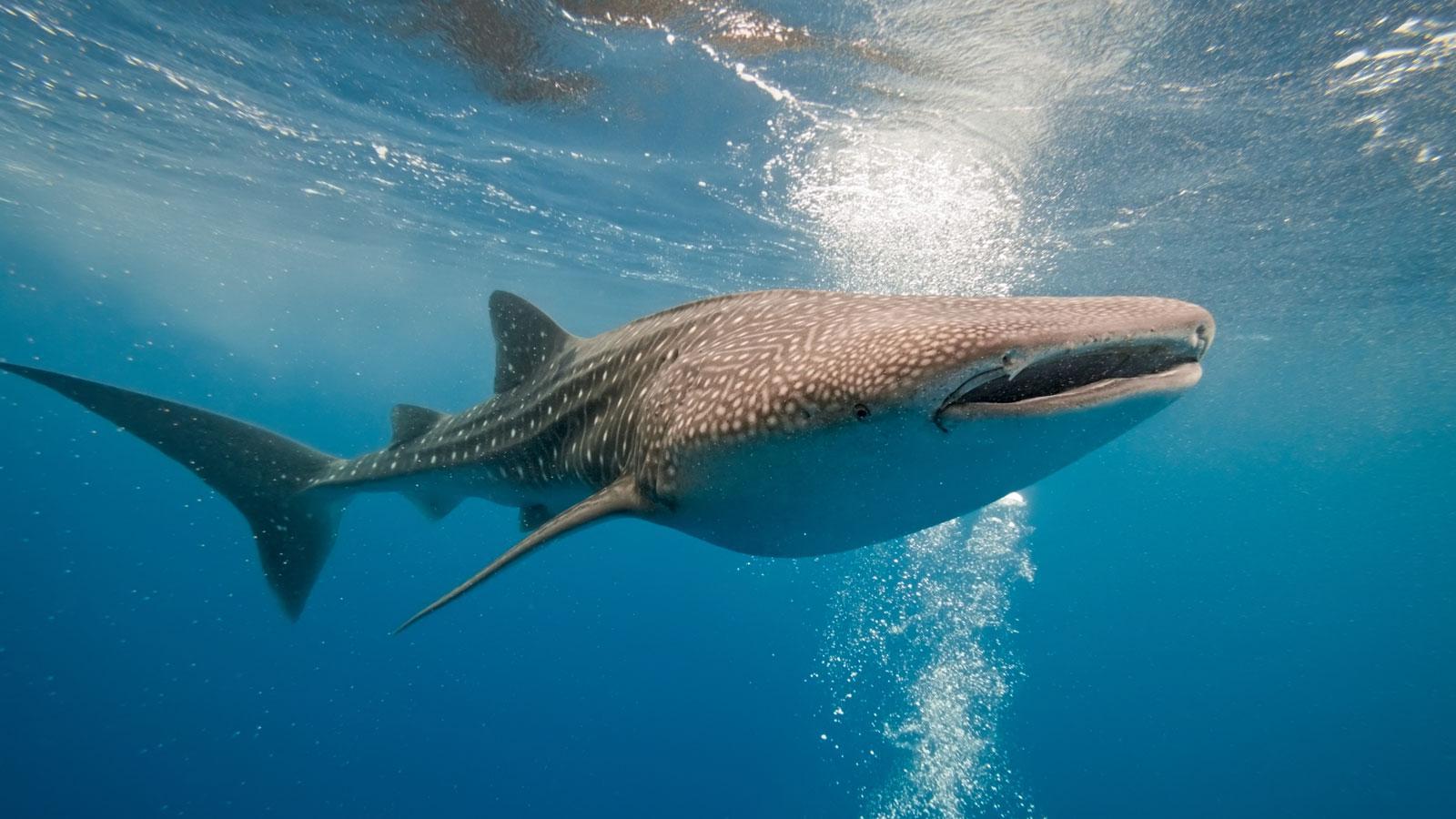 milaidhoo-maldives-hanifaru-bay-whale-shark