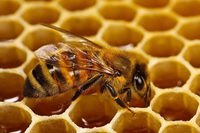 Навіщо бджоли роблять мед