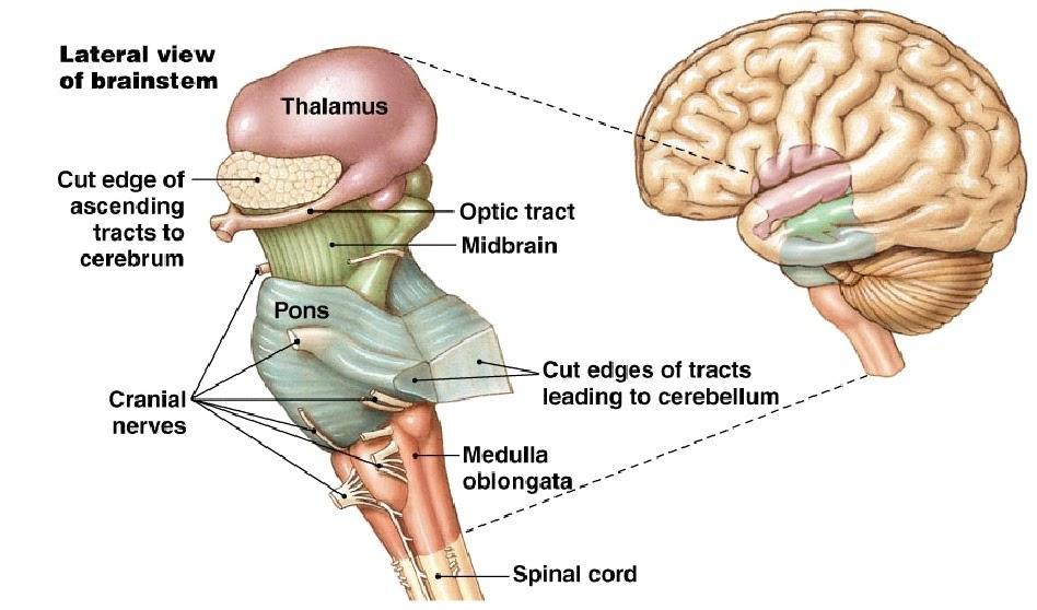 C:\Users\James\Desktop\anatomy-and-function-of-brain-stem-made-easy-brainstem-neuroanatomy.bmp
