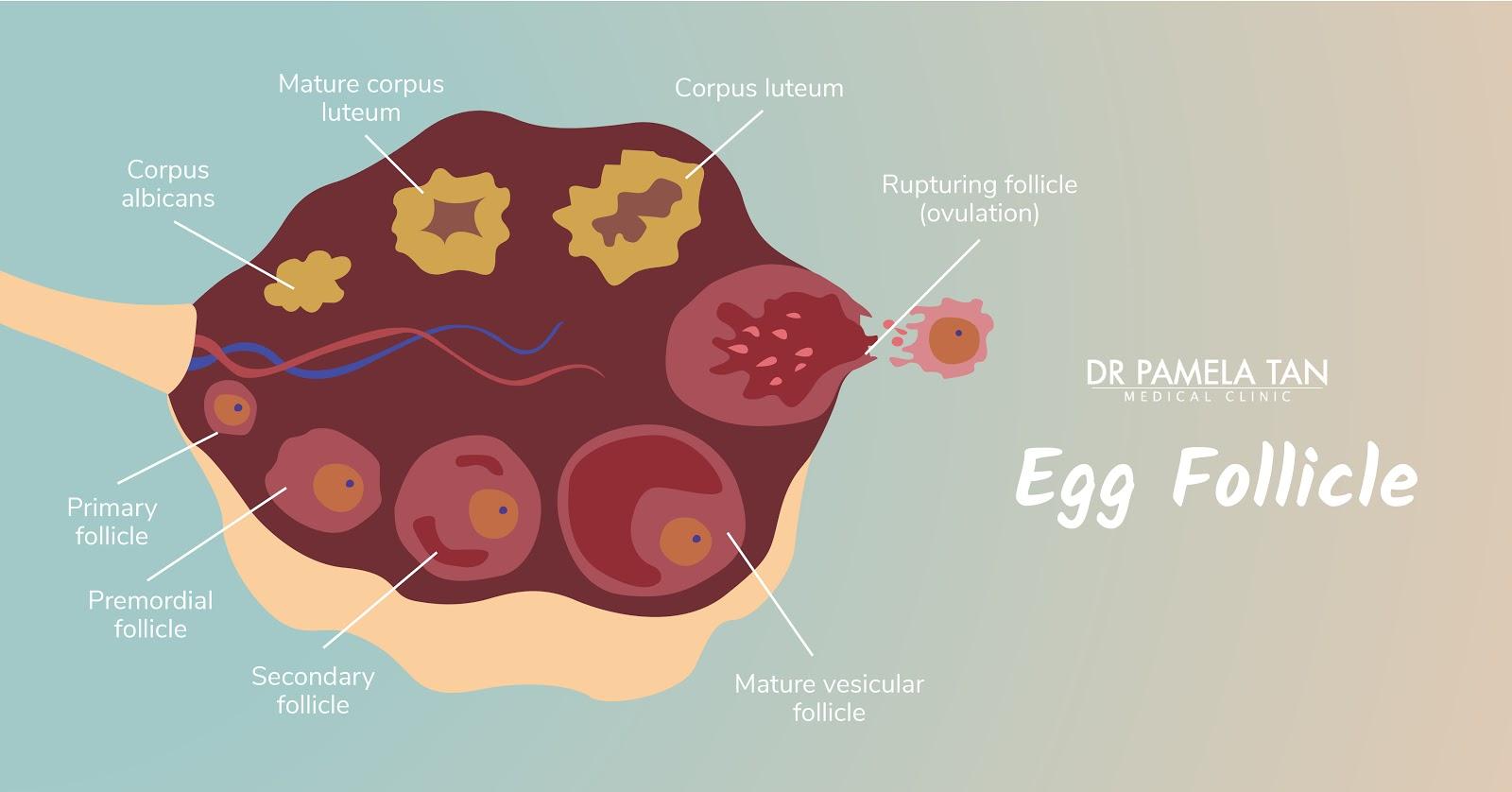 Egg Follicle