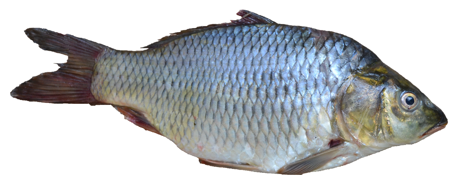 File:Fish - Puntius sarana from Kerala (India).png - Wikimedia Commons