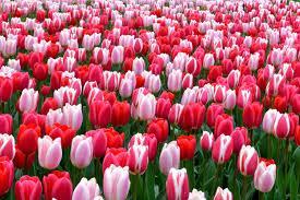 Ý nghĩa của hoa tulip, hoa hướng dương