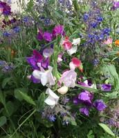 Sweet Peas in our Castro-Mistral Garden