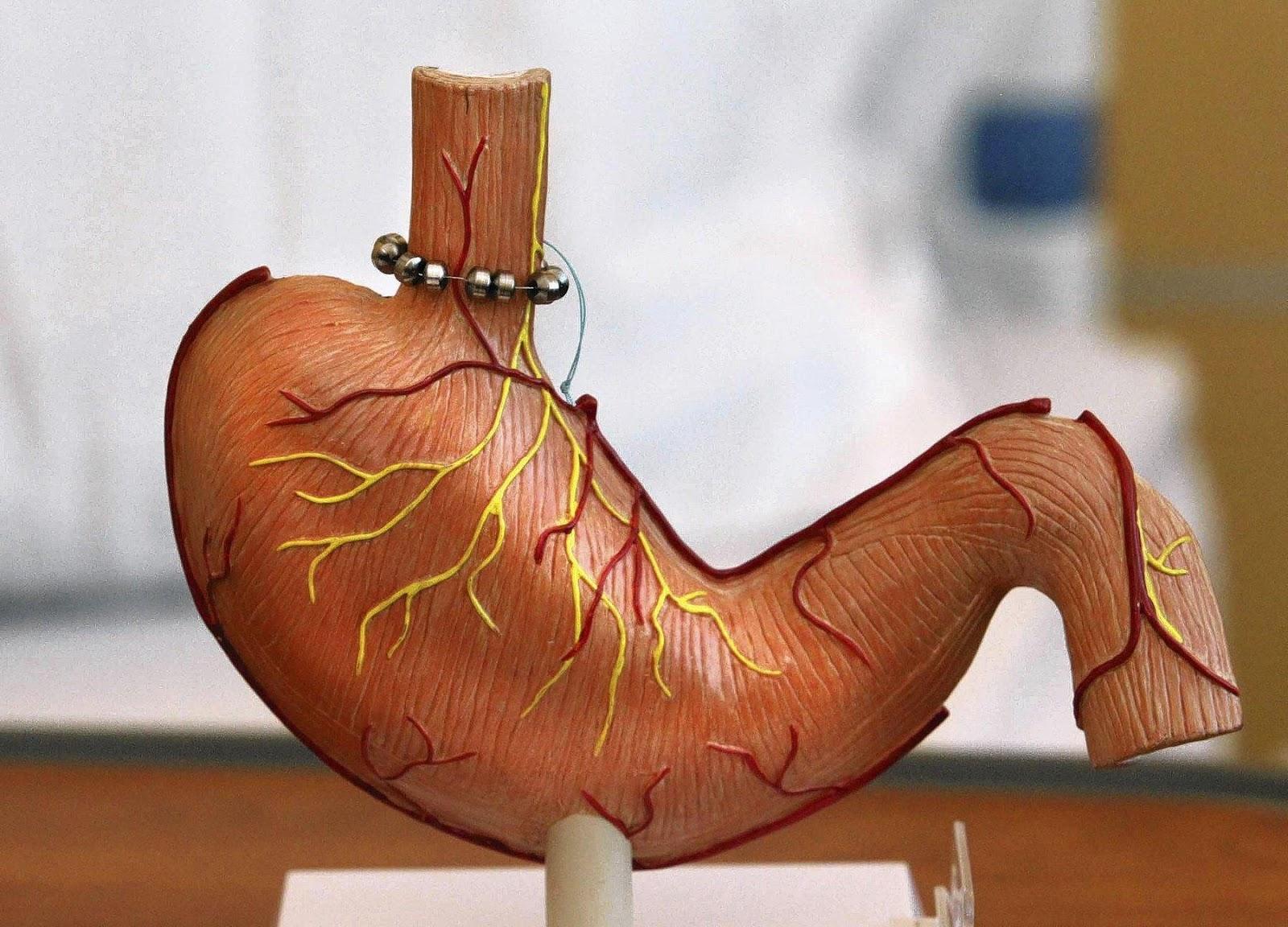 Cấu tạo mô phỏng dạ dày