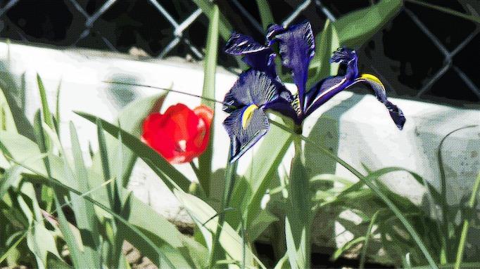 Tulip and Iris CH.jpg
