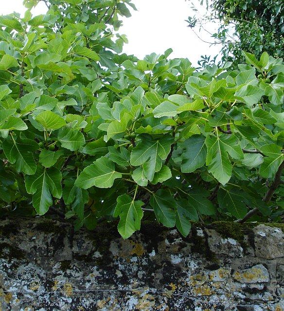 Fig tree at Crabbe Farm