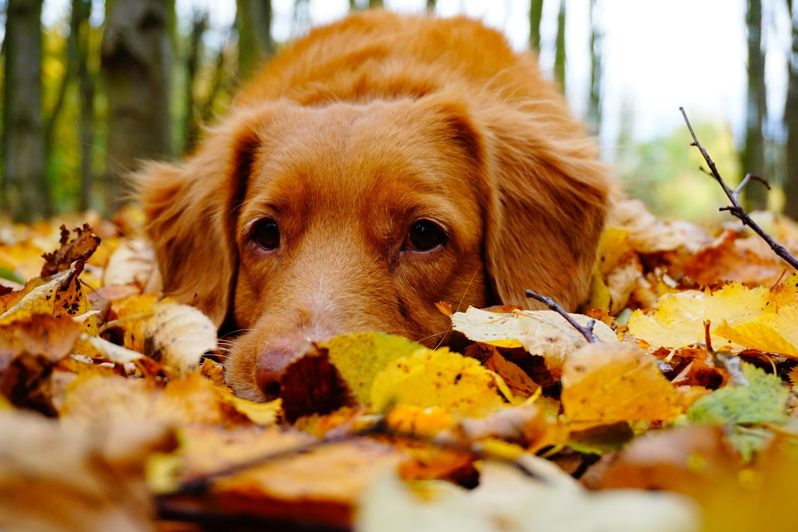 Dog laying in colorful fall leaves