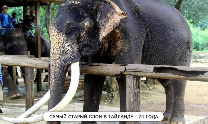 Самый старый слон - Интересные факты о слонах