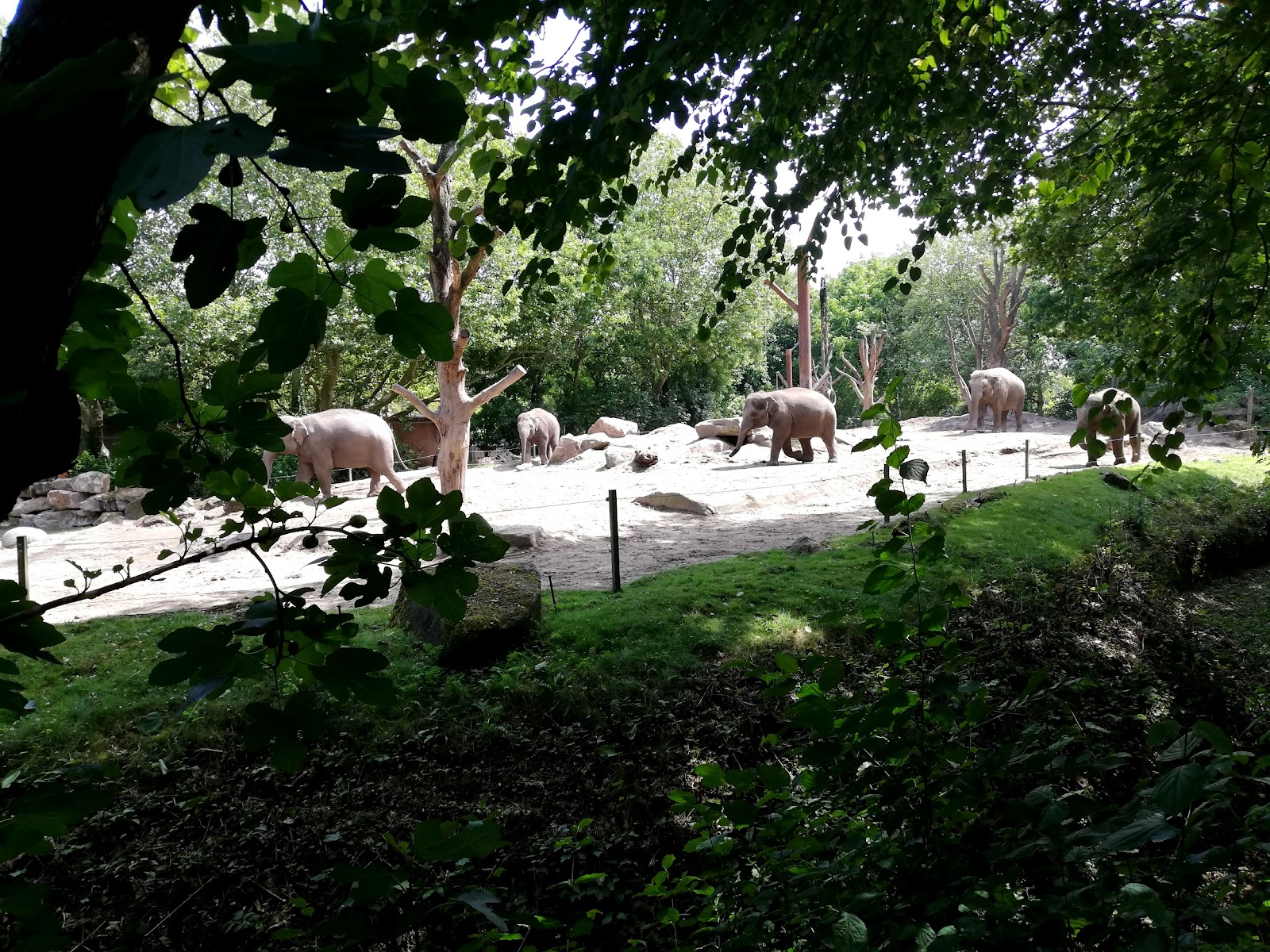 The giant Elephants are one of the many attractions of the Rotterdam zoo.