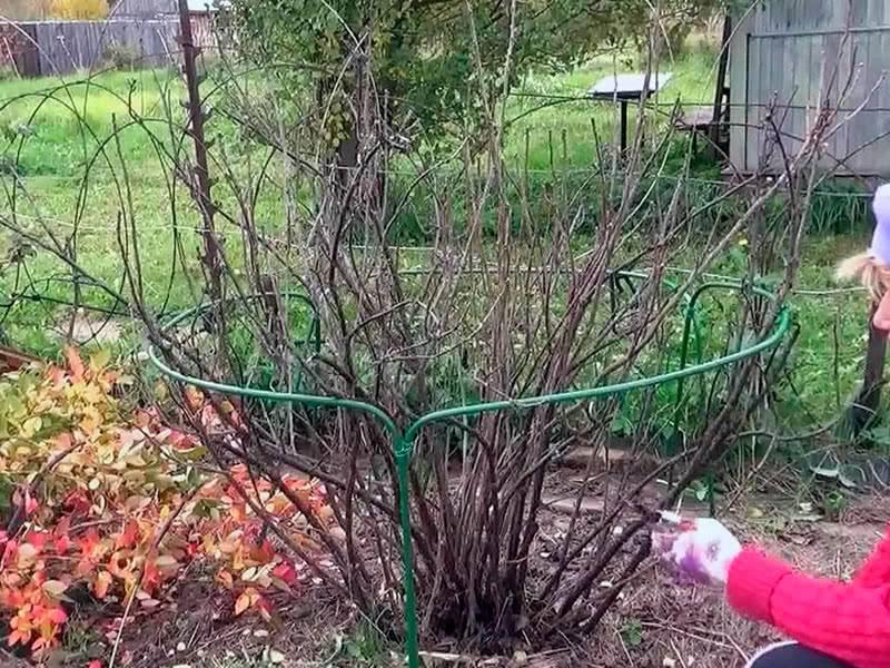Подготовка кустарника черной смородины к зиме в Подмосковье