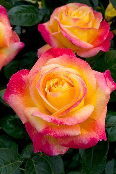 Rose 'Pullman Orient Express' | Beautiful flowers, Hybrid tea roses, Flowers