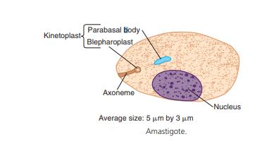 Amastigotes
