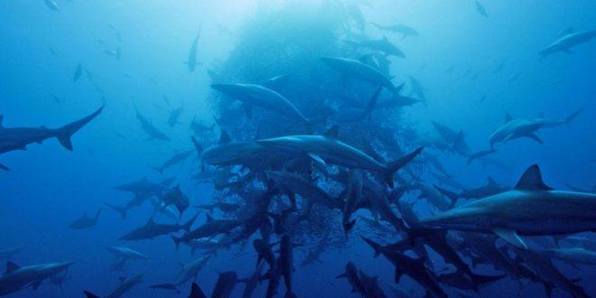 Great White Sharks Gather in Droves in the Middle of ...
