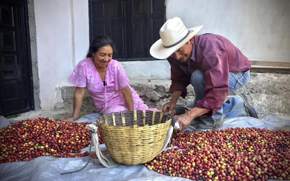 coffee farmers sorting cherries