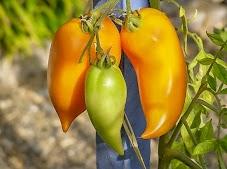 """Fruit jaune tirant sur l'orange à pleine maturité, de 100 à 200 gr, cylindrique allongé se terminant en pointe souvent retourné. Bouquets de 3 à 5 unités. Chair épaisse et """"séche"""" contenant peu/pas de gel et trés peu de graines. Saveur plus prononcée et sucrée que sa soeur l'Andine rouge. Variété prédestinée pour la confection de pâte et coulis ainsi que pour le séchage. Plant à trés grand développement et aux entre-noeuds trés espacés. Bonne production de mi-saison. Variété trés sensible au """"cul noir"""" ou nécrose apicale."""