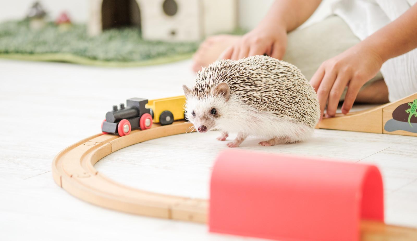 「木のレールのおもちゃで飼い主と一緒に遊ぶハリネズミ   写真の無料素材・フリー素材 - ぱくたそ」の写真