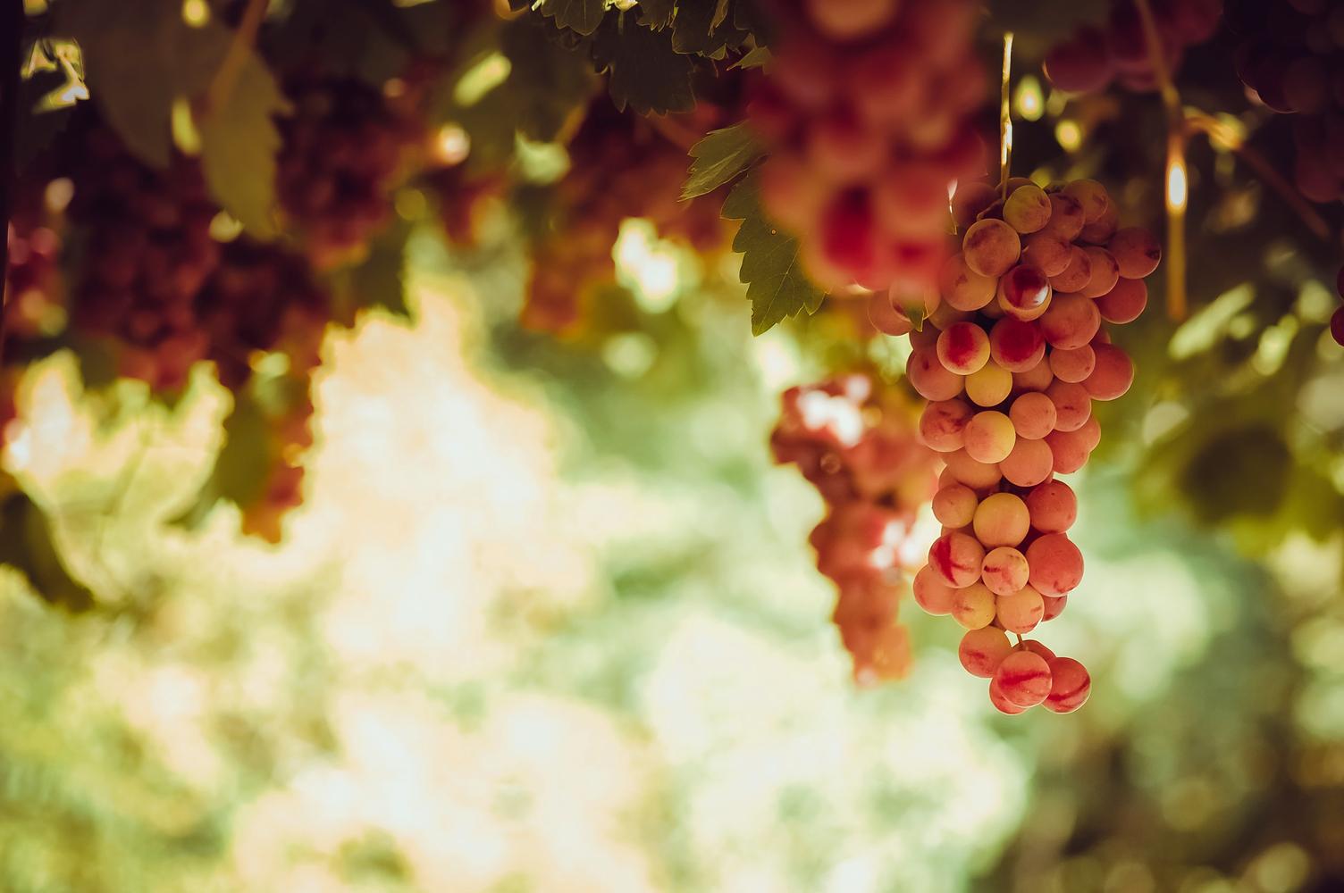 Plantação de uvas rosadas