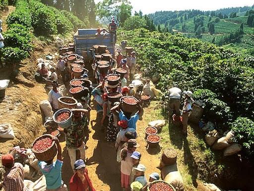 caféiculture