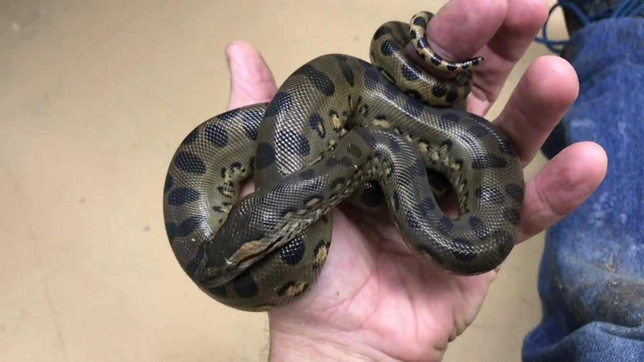 Image result for green anaconda babies